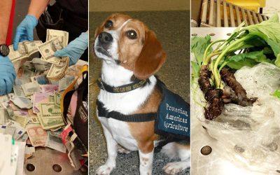 Customs Beagle Auburn - and what she seized