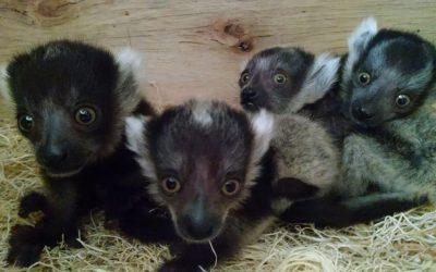 Lemur babies at the Philadelphia Zoo