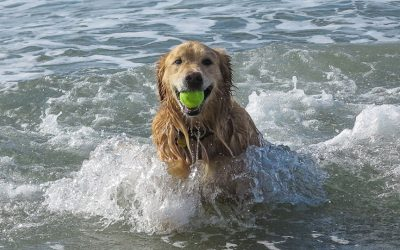dog in the ocean with a tennis ball