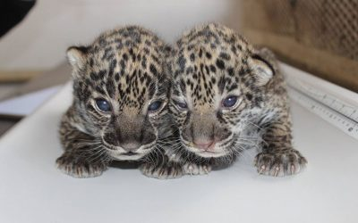 Elmwood Park Zoo - jaguar cubs