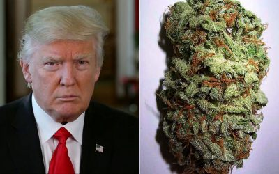 Donald trump split photo with marijuana bud
