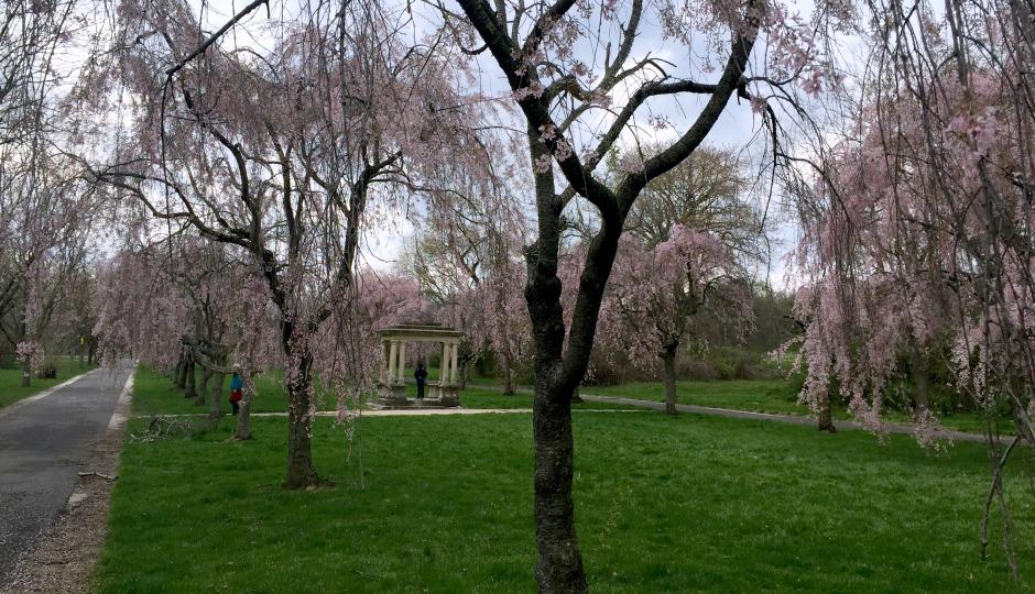 cherry blossoms in fairmount park
