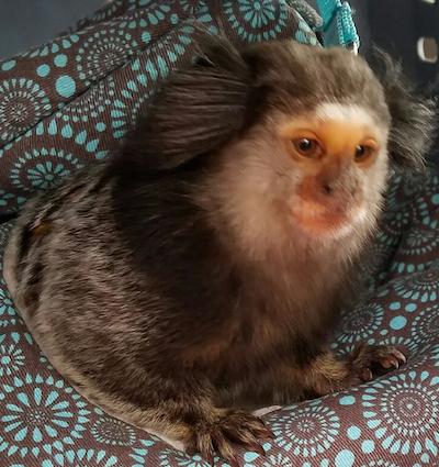 The marmoset monkey. (Photo courtesy the Berks County Animal Rescue League)