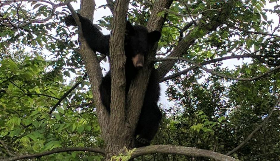 bucks county bear