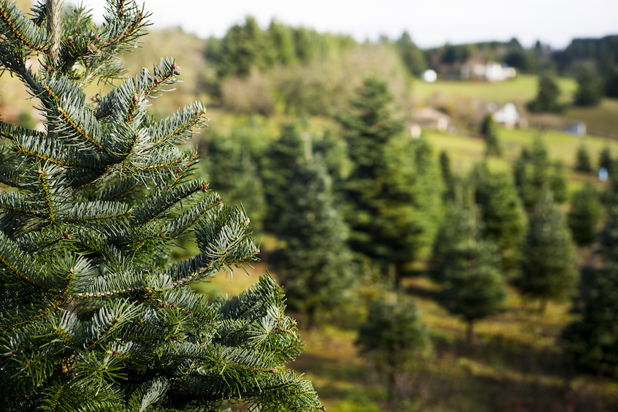 Christmas Tree Farms Where You Can Cut Your Own Trees In