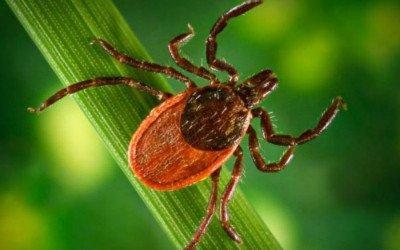 deer tick, lyme disease