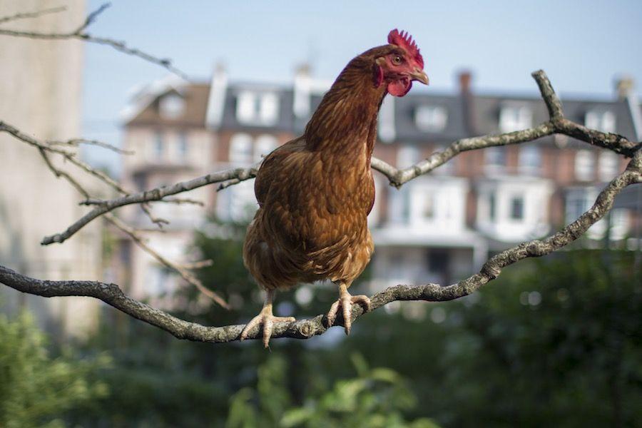 philadelphia backyard chickens legal