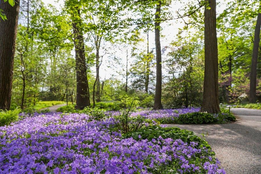 longwood-wisteria