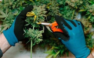 recreational marijuana daylin leach sharif street