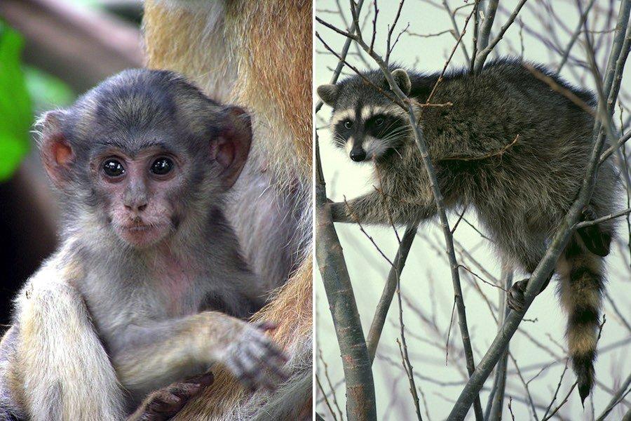 monkey yoga raccoon yoga animal yoga