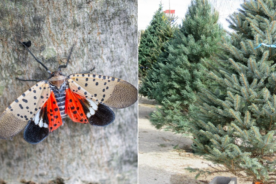 Christmas Tree Bug Warning 2020 Spotted Lanternflies Are Not Hiding in Your Soon to Be Christmas Tree