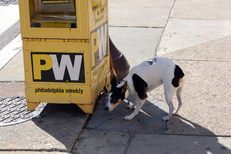 a dog checking out a curbside box for the Philadelphia Weekly, which may pivot to a conservative newspaper