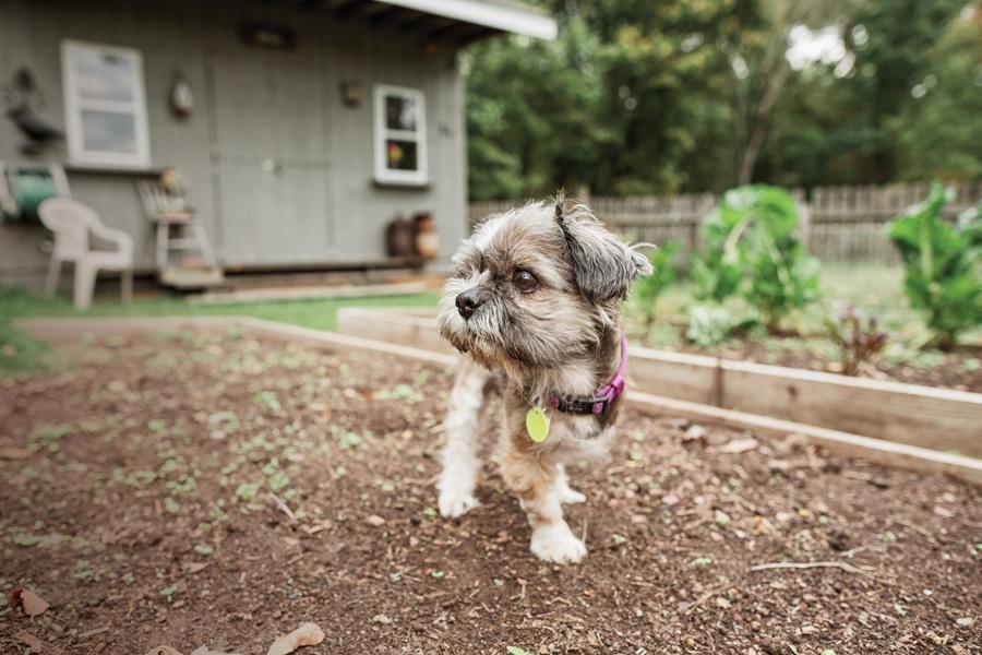 pandemic puppy