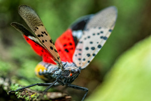 Spotted lanternfly spreads its wings