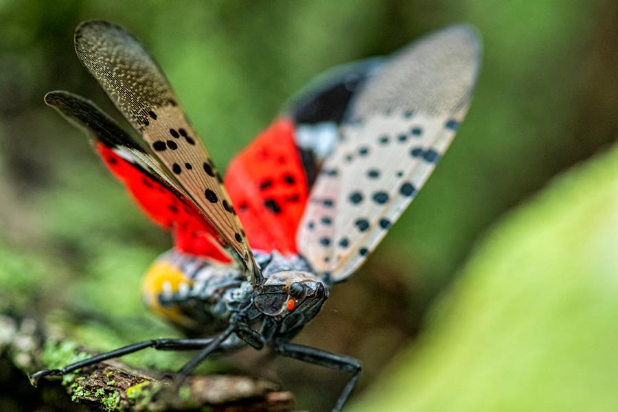destroy Spotted lanternfly eggs