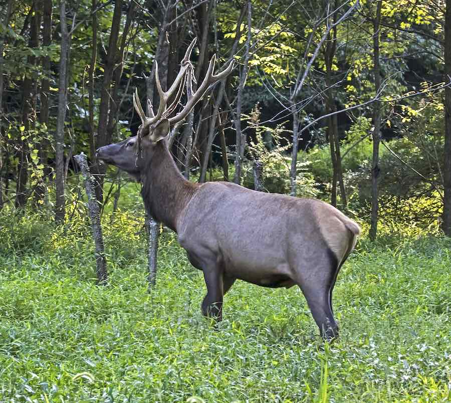 an elk near parker dam state park in pennsylvania