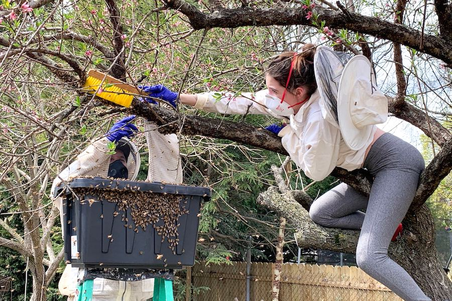 mark and anna berman from south philadelphia rescuing a swarm of bees