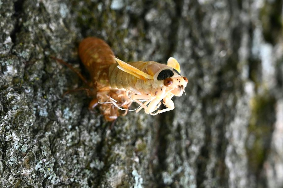 a photo of a brood x cicada in washington d.c., a sight you'll be seeing as soon as there are cicadas in philadelphia, pennsylvania