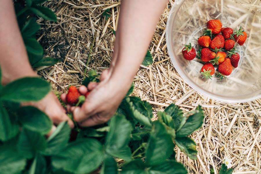 strawberry picking philadelphia