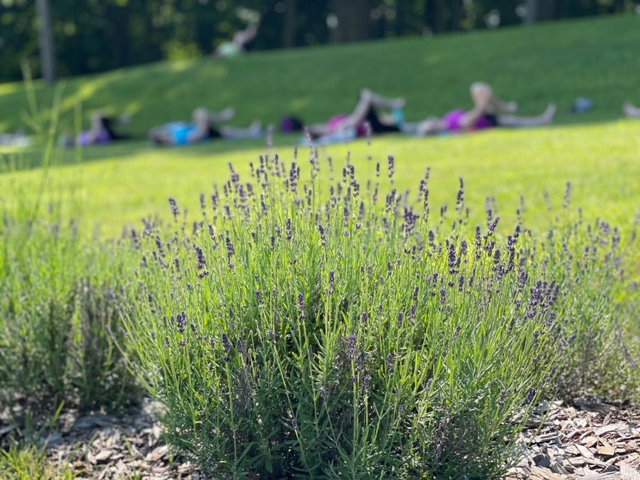 People doing yoga near a lavender field at Mt. Airy Lavender Farm
