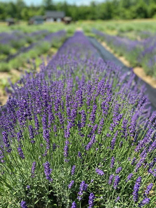 A photo of the purple lavender fields at Princeton Lavender farm